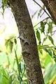 Camellia tsaii in Auckland Botanic Gardens 01.jpg