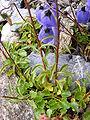 Campanula cochleariifolia DSCF1561.JPG