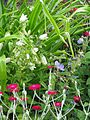 Campanula punctata - Flickr - peganum (2).jpg