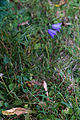 Campanule à feuilles rondes-Campanula rotundifolia-Pleney-20141015.jpg