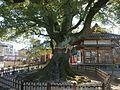 Camphor tree at Kokuso-ji Temple in Aikei, Saga 01.jpg