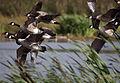 Canada geese, Leighton Moss.jpg