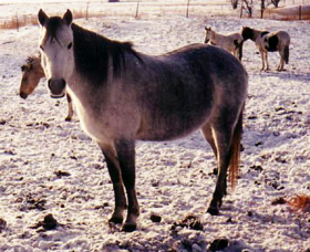 Image illustrative de l'article Canadian Rustic Pony
