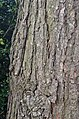 Canadian Hemlock Tsuga canadensis Bark Vertical.jpg