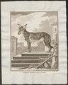 Canis lupus familiaris - 1700-1880 - Print - Iconographia Zoologica - Special Collections University of Amsterdam - UBA01 IZ22200013.tif