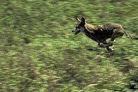 Vlk rudohnědý v běhu