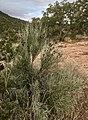Canotia aka Crucifixion thorn, Upper Red Rock road, Sedona area (49097272128).jpg
