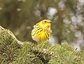 Cape May Warbler, Tawas Point State Park, 16 May 2014 (14031083169).jpg