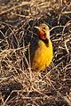 Cape longclaw (Macronyx capensis) (5923031155).jpg