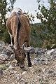 Capra aegagrus (Chèvre sauvage) - 56.jpg