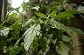 Capsicum chinense 'Bhut Jolokia' from Nagaland JEG5204.JPG