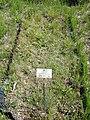 Carex cristatella - Botanischer Garten München-Nymphenburg - DSC07831.JPG