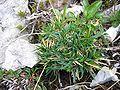 Carex firma02.jpg
