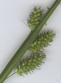Carex pallescens Ährchen.jpg