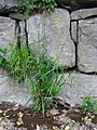 Carex pendula plant (24).jpg