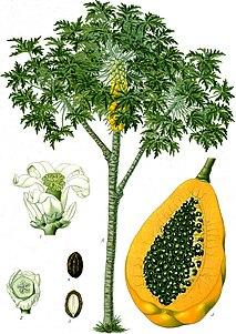 Papaya species of plant, use Q12330939 for the papaya (the fruit)