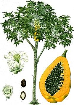 Carica papaya (ilustração do Köhler's Medizinal-Planzen, 1887).