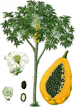 Papaya tree and fruit, from Koehler's <em>Medicinal-Plants</em> (1887)