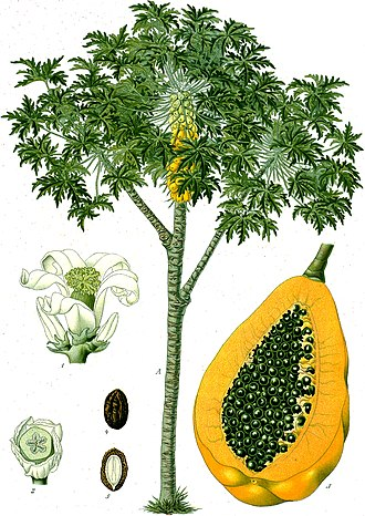 Papaya - Papaya tree and fruit, from Koehler's Medicinal-Plants (1887)