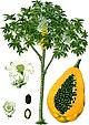 Carica papaya - Köhler–s Medizinal-Pflanzen-029.jpg