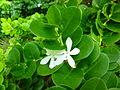 Carissa macrophylla 'Bonsai'.jpg