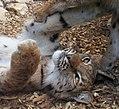 Carpathian Lynx 3 (35853662491).jpg