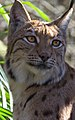 Carpathian Lynx 5 (13269718763).jpg