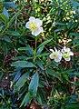 Carpenteria californica - Mildred E. Mathias Botanical Garden - University of California, Los Angeles - DSC02971.jpg