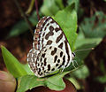 Castalius rosimon - Common Pierrot on the hostplant Ziziphus oenoplia - Jackal Jujube 08.JPG