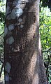Castanospermum australe 07.JPG