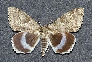 <i>Catocala fraxini</i> Species of moth