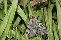 Catocala okurai (35265274075).jpg