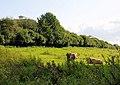 Cattle Grazing, Winnall - geograph.org.uk - 1021220.jpg