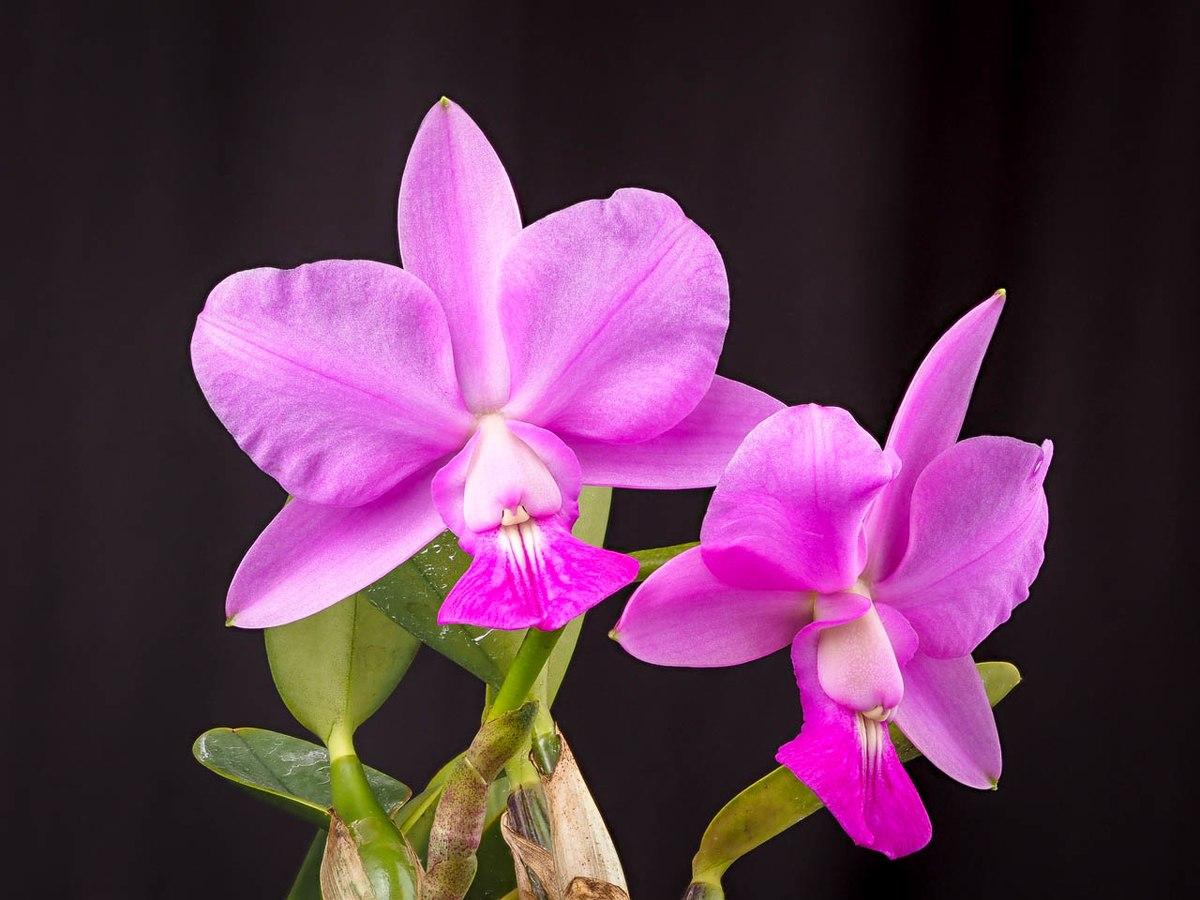 Cattleya Walkeriana Wikispecies