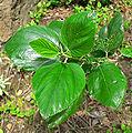 Ceanothus arboreus 2.jpg
