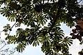 Cecropia obtusifolia 8zz.jpg