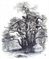 Cedar of Lebanon.png