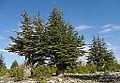 Cedrus libani - Lebanon cedar 06.jpg