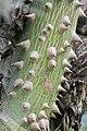 Ceiba speciosa 6zz.jpg