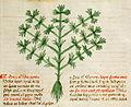 Celery (apium).jpg