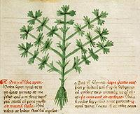 Apium ілюстрація барбаруса апулея