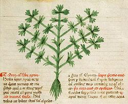 definition of celery