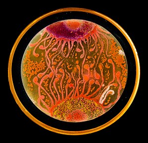"Microbial art - ""Cell to Cell"" Winner of 2015 ASM Agar Art Competition by Mehmet Berkmen and Maria Peñil"