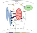 Cellular mechanisms of MAVS pathway.pdf