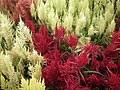 Celosia wool flower from Lalbagh flower show Aug 2013 8452.JPG
