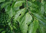 Celtis-occidentalis-fruit.JPG