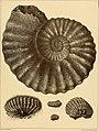 Cephalopoden der böhmischen Kreideformation (1872) (14779999882).jpg