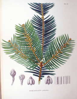 Coloured plate of Cephalotaxus pedunculata in Flora Japonica , by Philipp Franz von Siebold and Joseph Gerhard Zuccarini Cephalotaxus pedunculata SZ132.png