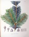 Cephalotaxus pedunculata SZ132.png