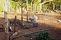 Cerdos y gallinas de Guinea domésticas (1240786966) Quesada, Alajuela, Costa Rica.jpg